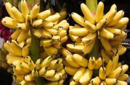 सड़ा हुआ केला खाइये, ये हैं  चौका देने वाले फायदे जो आपको हैरत में डाल देंगे