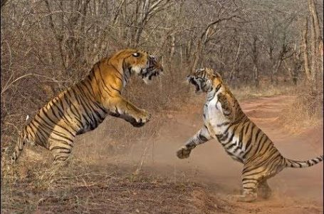 दो बाघ भिड़े, टी-104 गंभीर घायल,