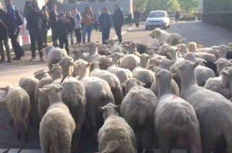 देखिए कहां पर स्कूल में भेडों को दिया गया पढने के लिए एडमीशन