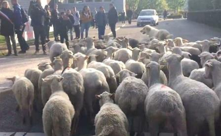 Look at where the sheep were given to the school to read the admission